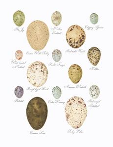 Bird Eggs of the Northeast