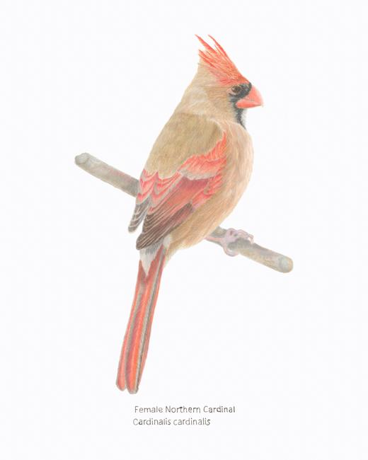 Female-NorthernCardinal